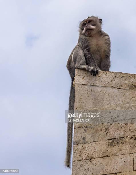 Balinese temple Monkey