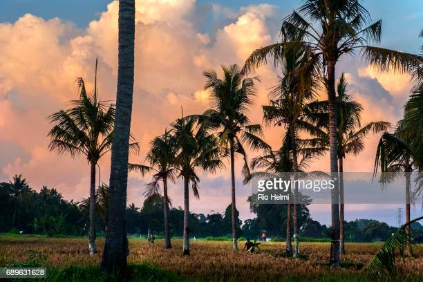 Balinese woman collects palm fronds to make offering baskets for rituals