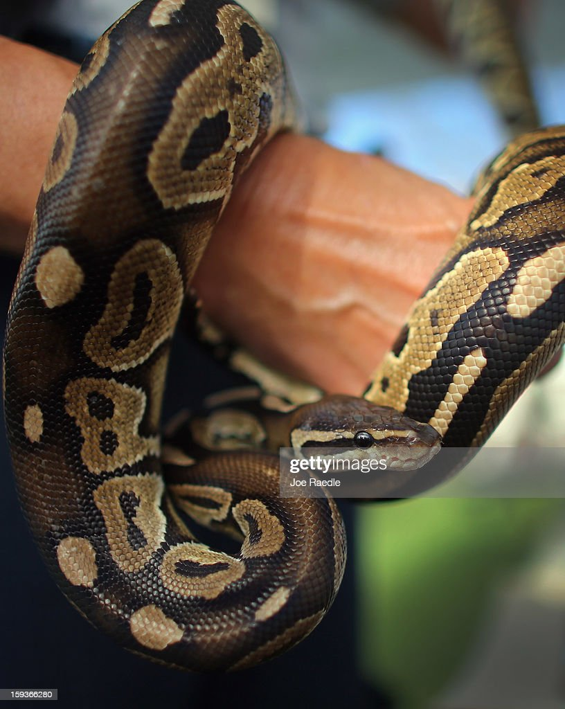 A ball python is seen on display at the registration event and press conference for the start of the 2013 Python Challenge on January 12, 2013 in Davie, Florida.The Florida Fish and Wildlife Conservation Commission and its partners launched the month long 2013 Python Challenge to harvest Burmese pythons in the Florida Everglades, a species that is not native to Florida.The contest features prizes of $1,000 for catching the longest snake and $1,500 for catching the most.