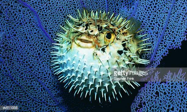 Balloon fish (Diodon holocanthus tatraodontidae)