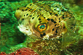 A balloonfish, Diodon holocanthus, patrols a shallow reef.