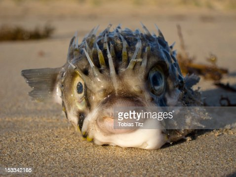 Balloonfish (Diodon Holocanthus) on sand : Stock Photo