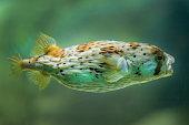 Balloonfish profile, Diodon holocanthus