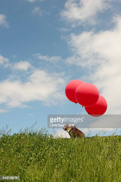Balloons attached to dog in field