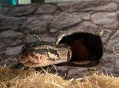 A peeping young captive ballphyton snake