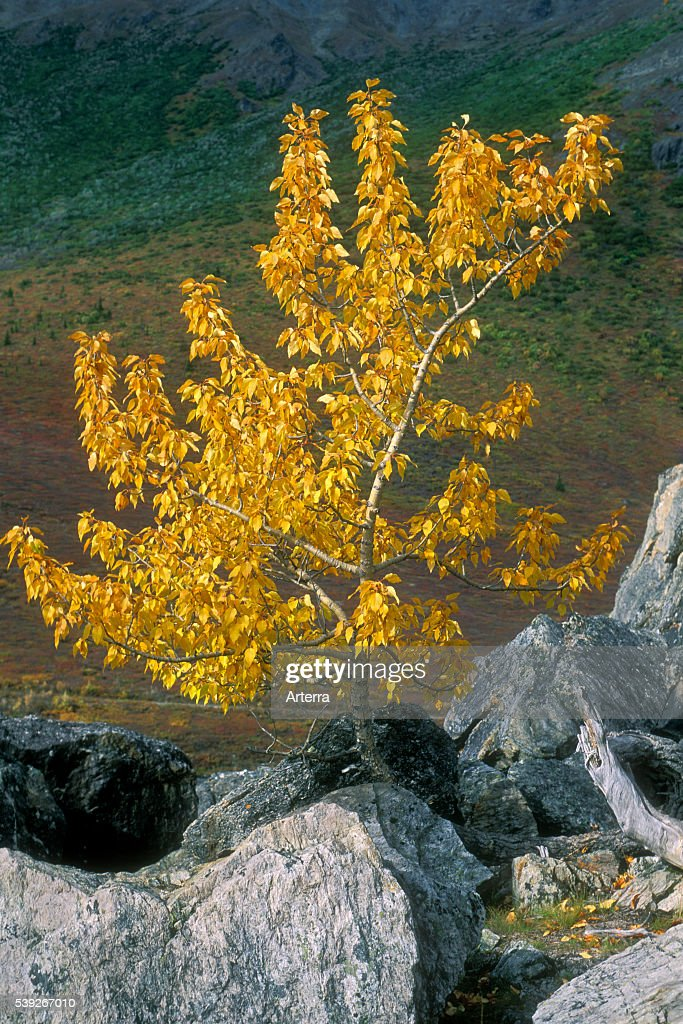 Balsam poplar / Black cottonwood trees in autumn colours Denali National Park Alaska US