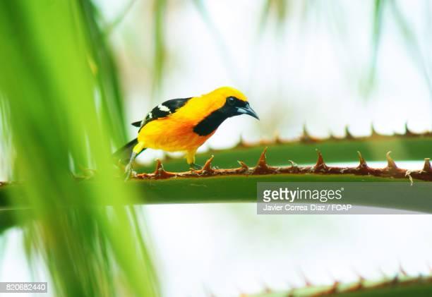 Baltimore oriole bird perching on branch