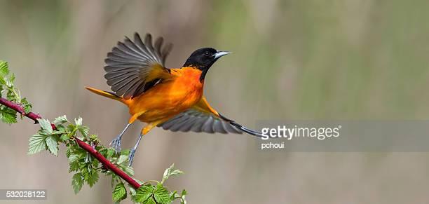 Orioles de Baltimore en vol, oiseaux mâle Icterus galbula