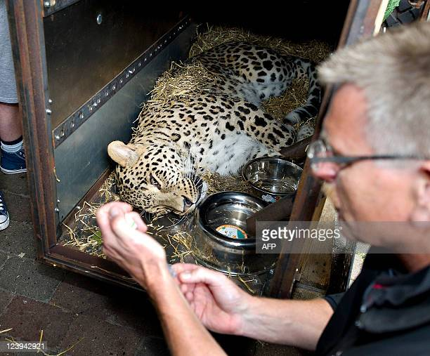 BamBam the fouryearold male leopard lies doped in a container in Aalborg Zoo September 6 2011 BamBam started Tuesday afternoon a long journey that...