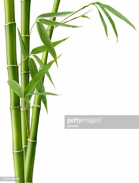 Hojas de bambú y