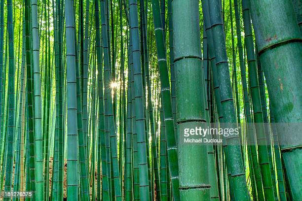 Bamboo Avenue - Arashiyama - Kyoto - Japan