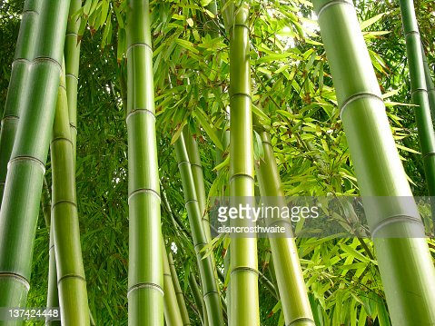 Bamboo bark growing in a jungle : Stock Photo