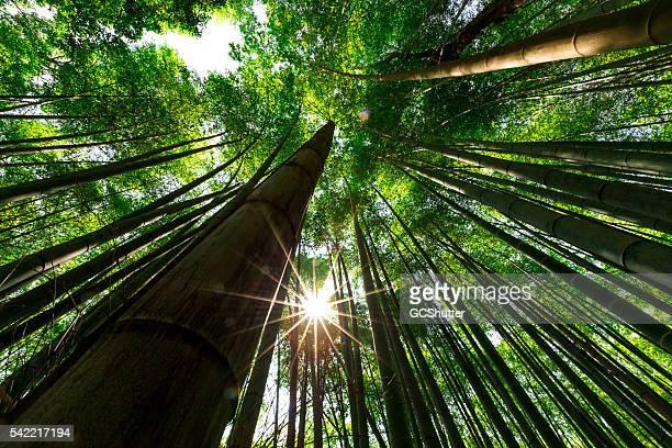 Floresta de bambu, Arashiyama, em Quioto, Japão