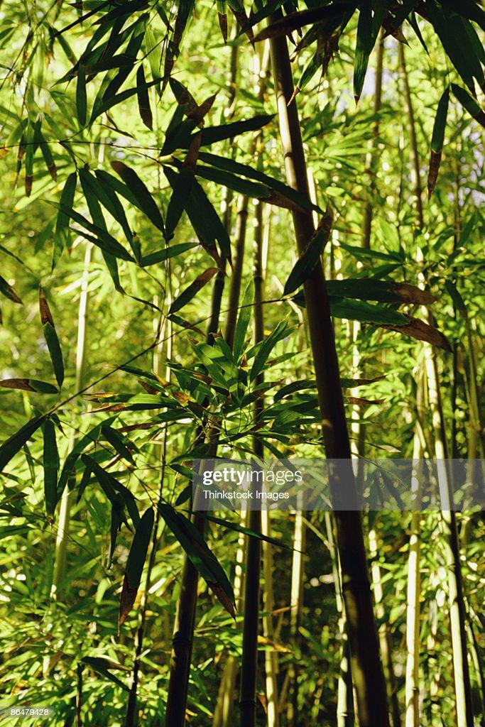 Bamboo forest, Maui, Hawaii : Stock Photo