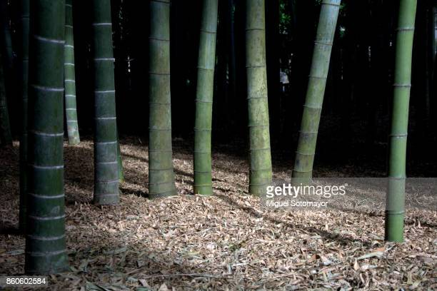 Bamboo forest of Kamakura