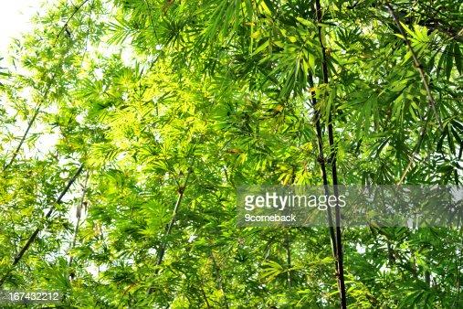 Bosque de bambú : Foto de stock