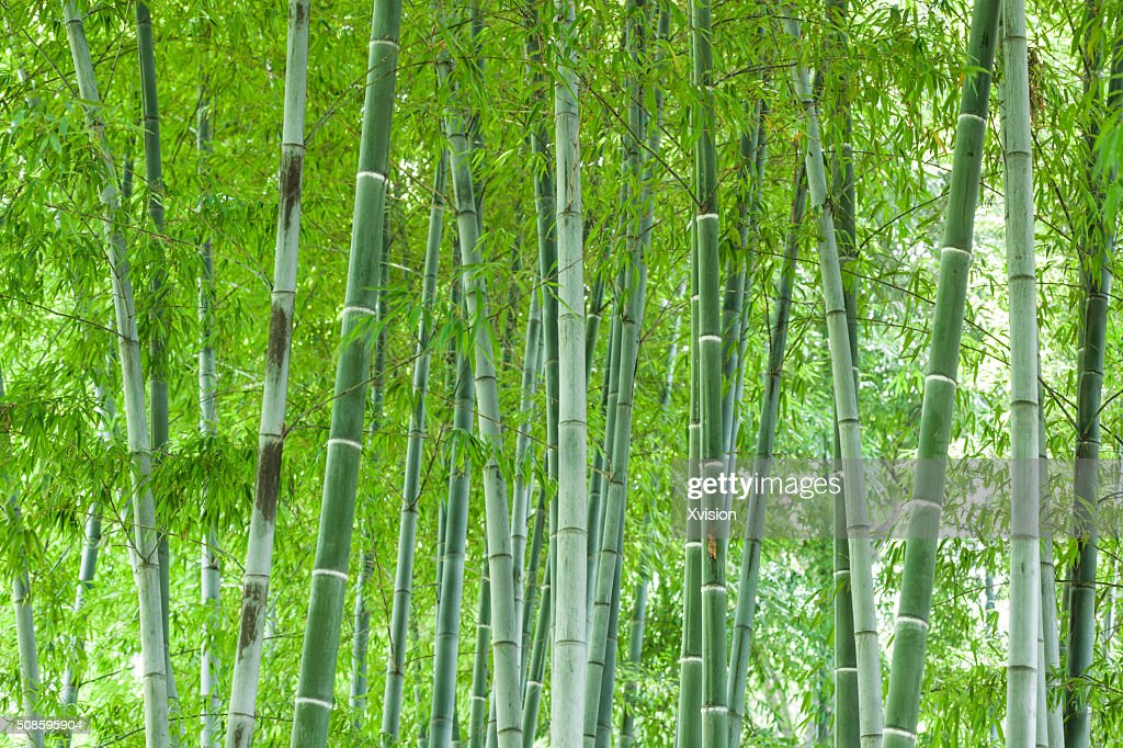 Bamboo forest : Stock-Foto