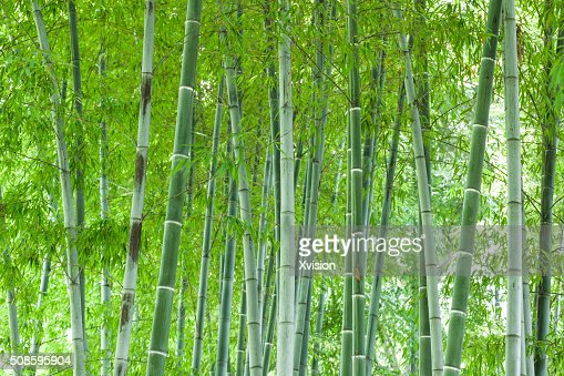 Bamboo forest : Foto de stock