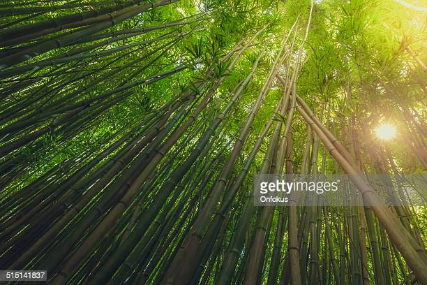 Bamboo forest with morning sunbeam