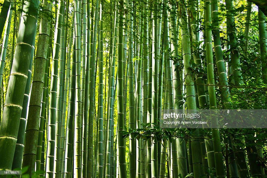 Bamboo grove, Kamakura