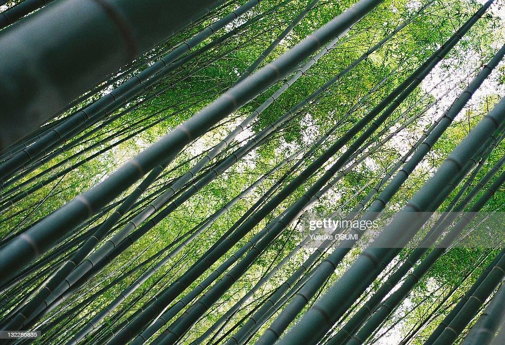 Bamboo grove : Stock Photo