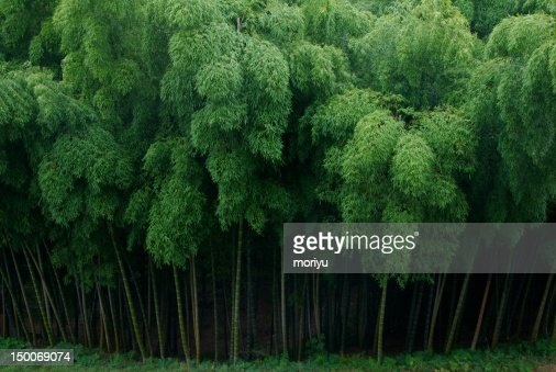 Bamboo grove : Stock Photo