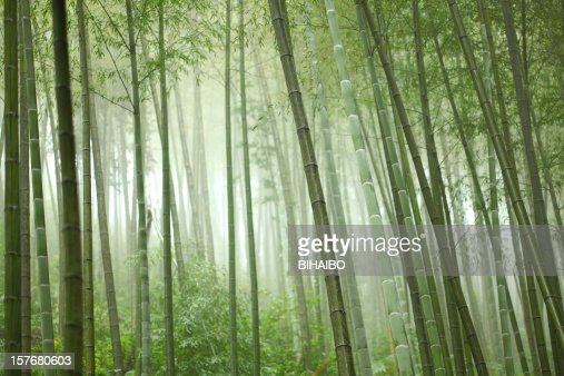 Bamboo grove with many trees and sunlight