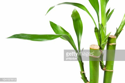 Bamboo Isolated on White 3
