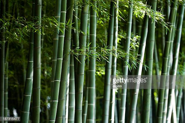 Bamboo & it's leaves