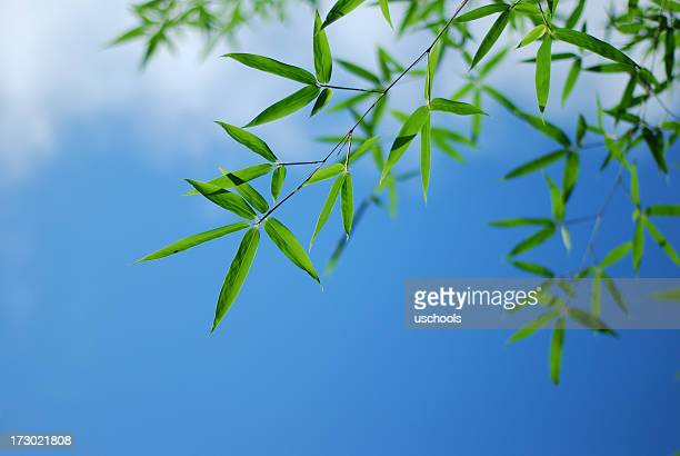 Bamboo Leaves in blue sky