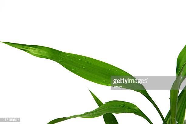 竹の葉に隔離