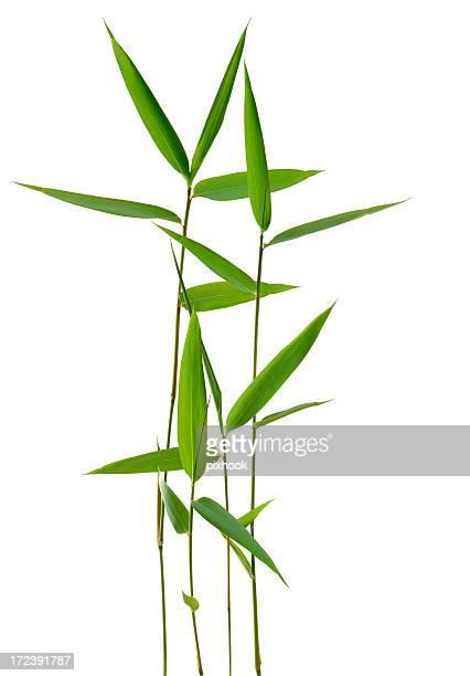 Hojas de bambú