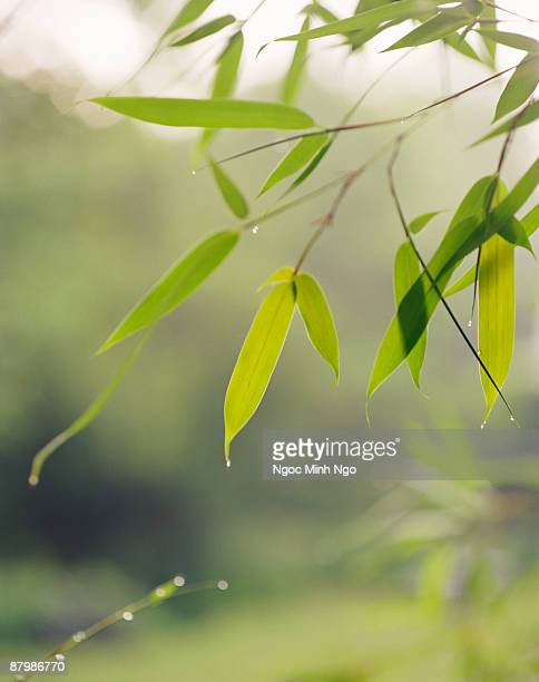 Bamboo leaves with dewdrops