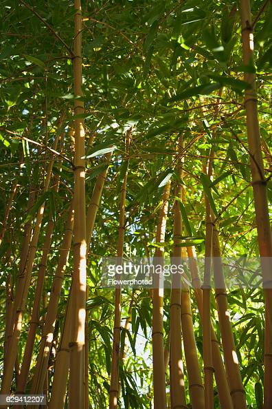 phyllostachys stock photos and pictures getty images. Black Bedroom Furniture Sets. Home Design Ideas