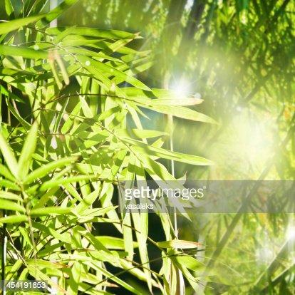 Bambú : Foto de stock