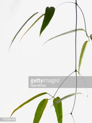 Bamboo plant : Stock Photo