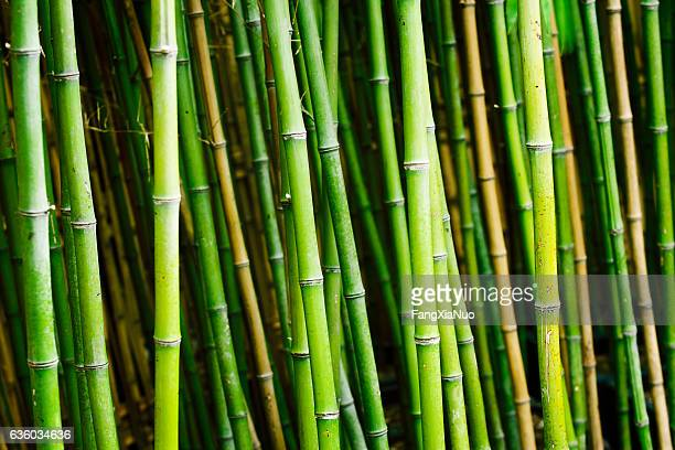 Bamboo plants in garden