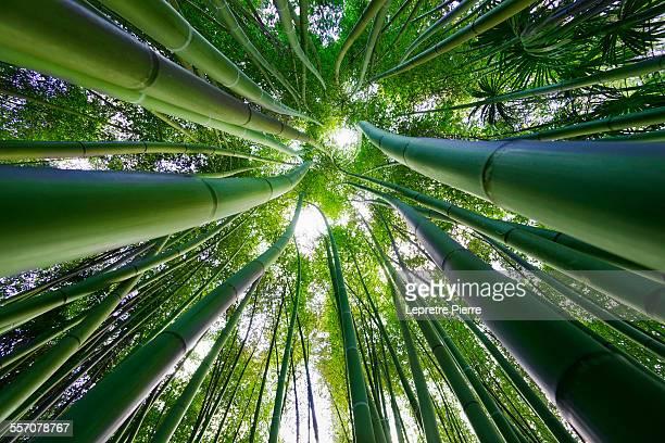Bamboo sky