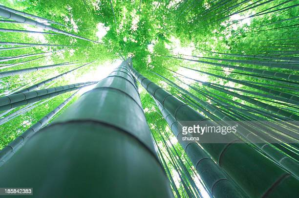 A Bamboo Thicket
