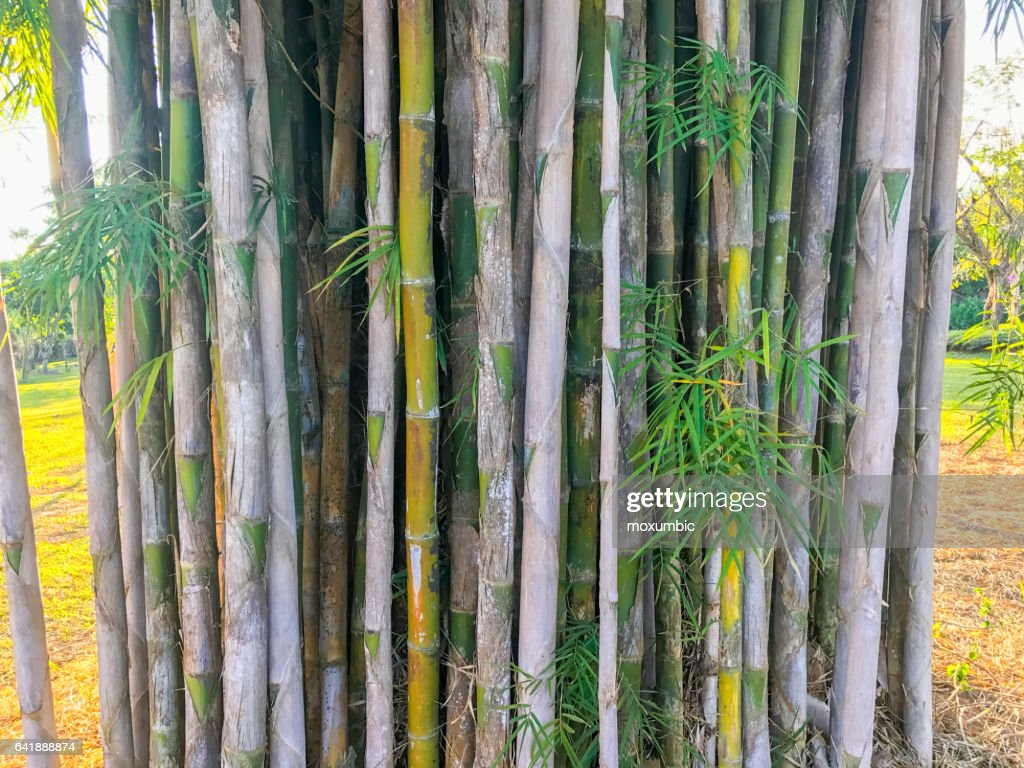 bambus baum im park stock foto getty images. Black Bedroom Furniture Sets. Home Design Ideas