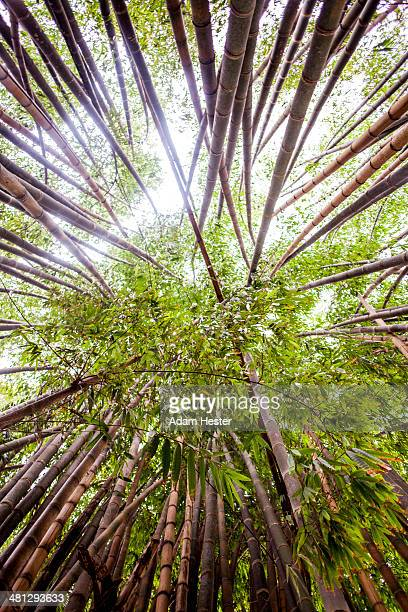 Bamboo trees in Ibirapuera Park in Sao Paulo.