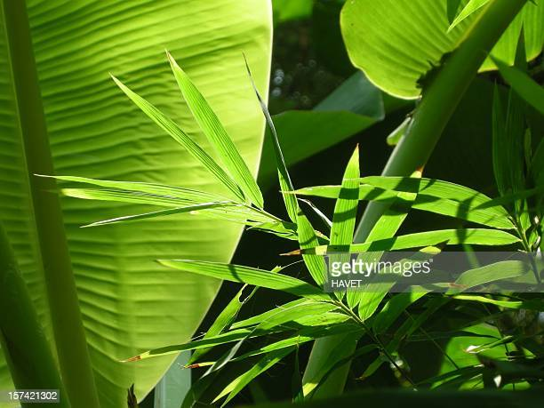 banana & bamboo leaves