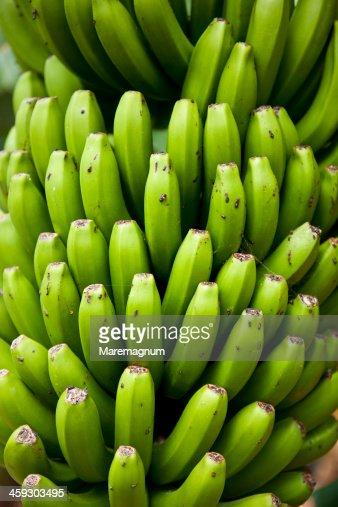 Banana cultivation at San Andres  at San Andrés