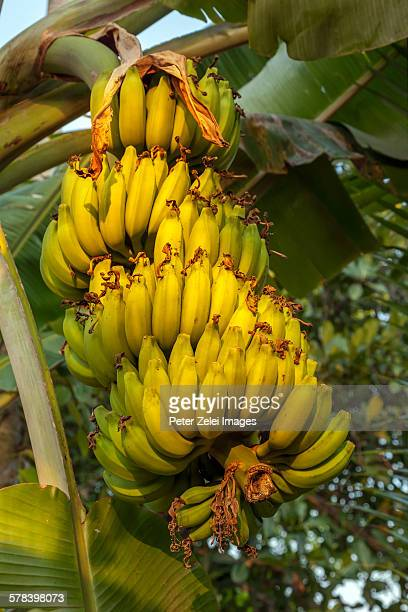 Banana fruit on the tree