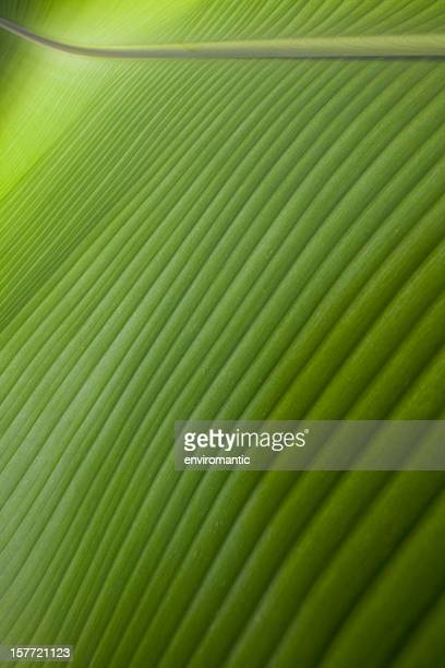 Banana leaf background.
