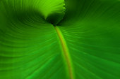A close up  of a new banana leaf.
