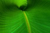 A close up  of a new banana leaf.