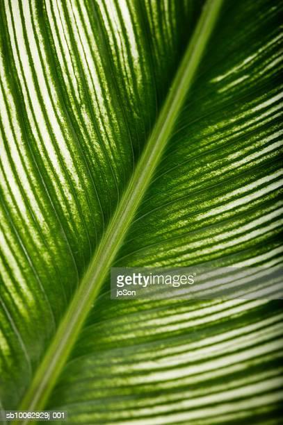 Banana leaf, close-up