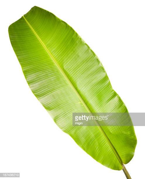 Banana leaf isolated on white.