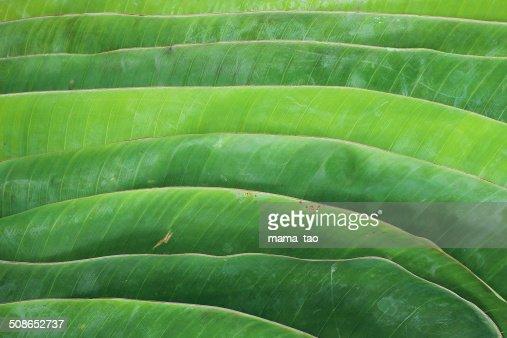 Banana leaf : Stock Photo